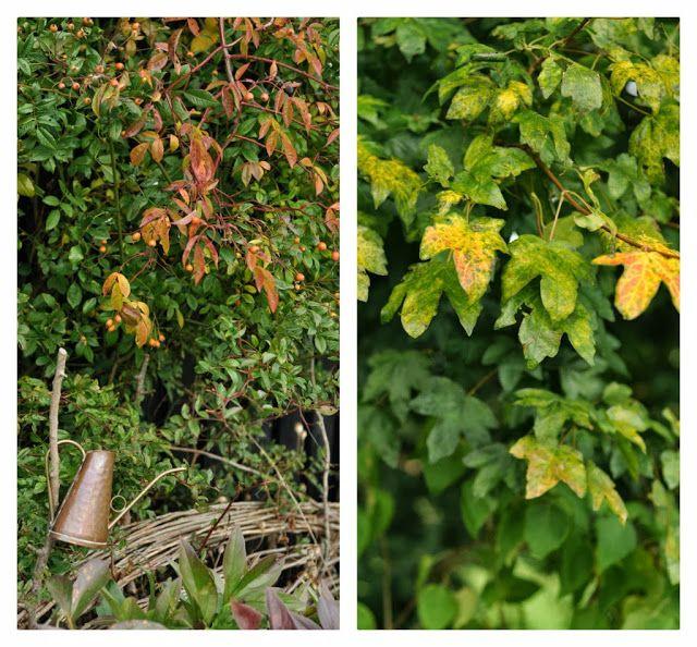 Rosa helenea in autumn