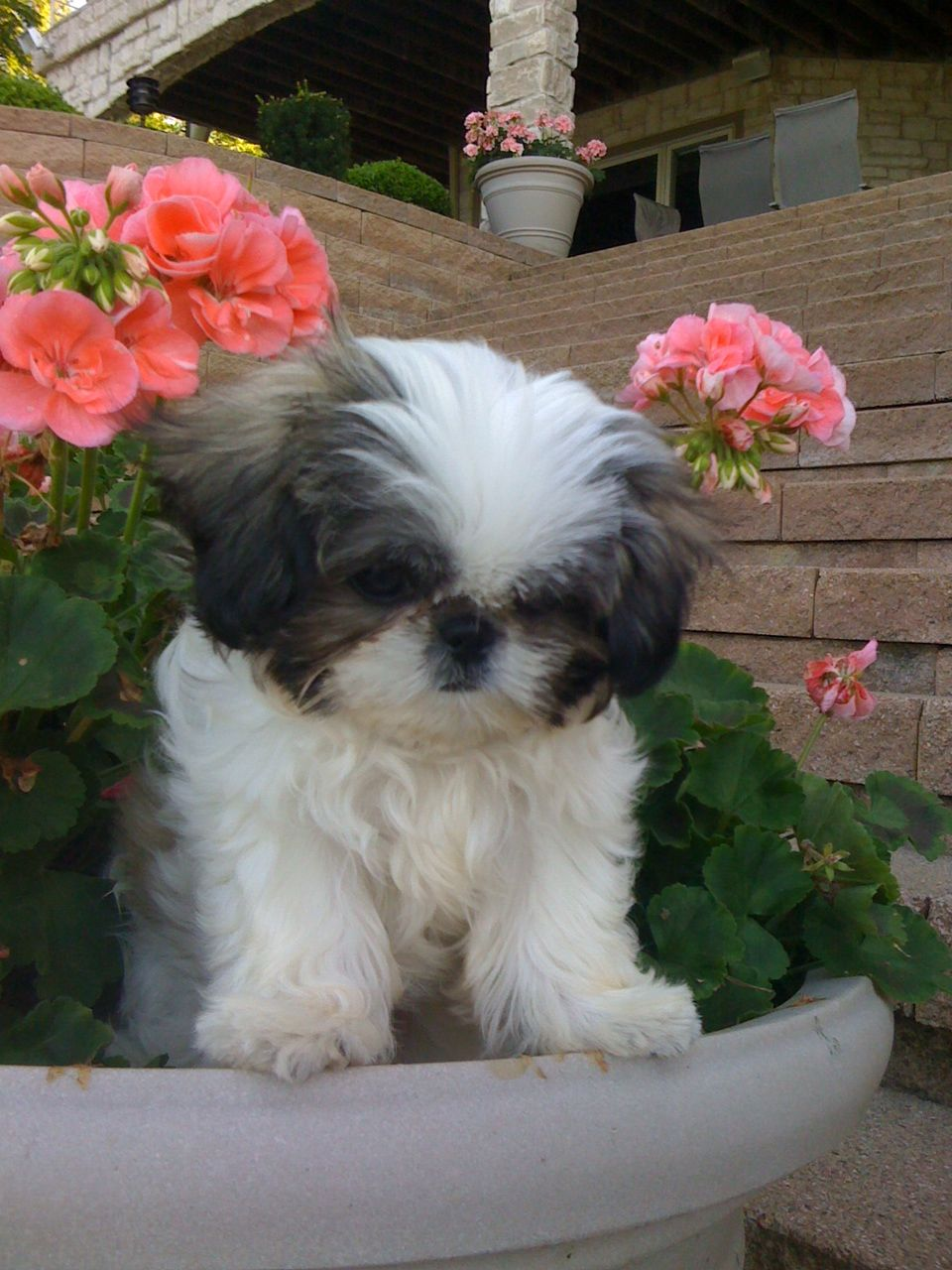Shih Tzu We Miss Our Oliver Shih Tzu Dog Shih Tzu Baby Dogs