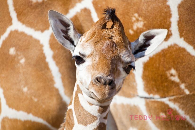 Baby Giraffe Born At Busch Gadens Tampa Bay |