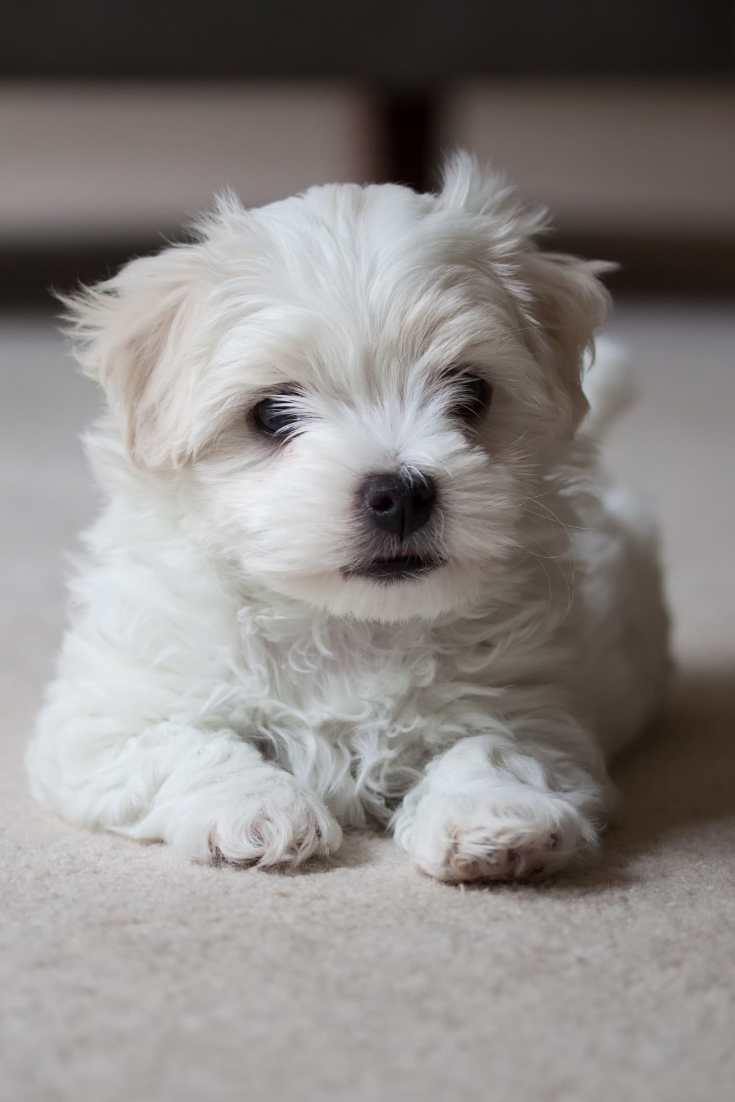 Maltese Terrier Puppy Waiting To Play Maltese Terrier Puppy Waiting To Play Maltese Dogs Maltese Poodle Maltese Dogs Care