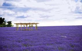 lavender flowers fantasy art - Google Search