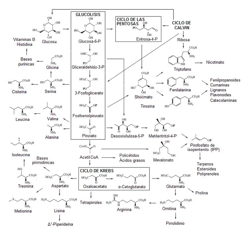 Metabolismo secundario wikipedia la enciclopedia libre metabolismo secundario wikipedia la enciclopedia libre ccuart Images