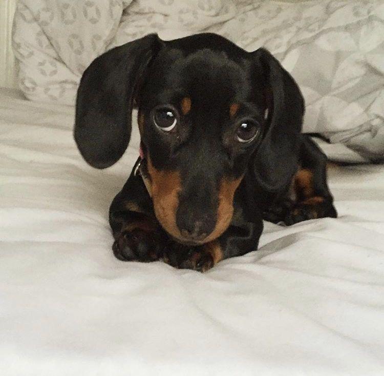 Cutie sausage dog pets dogs