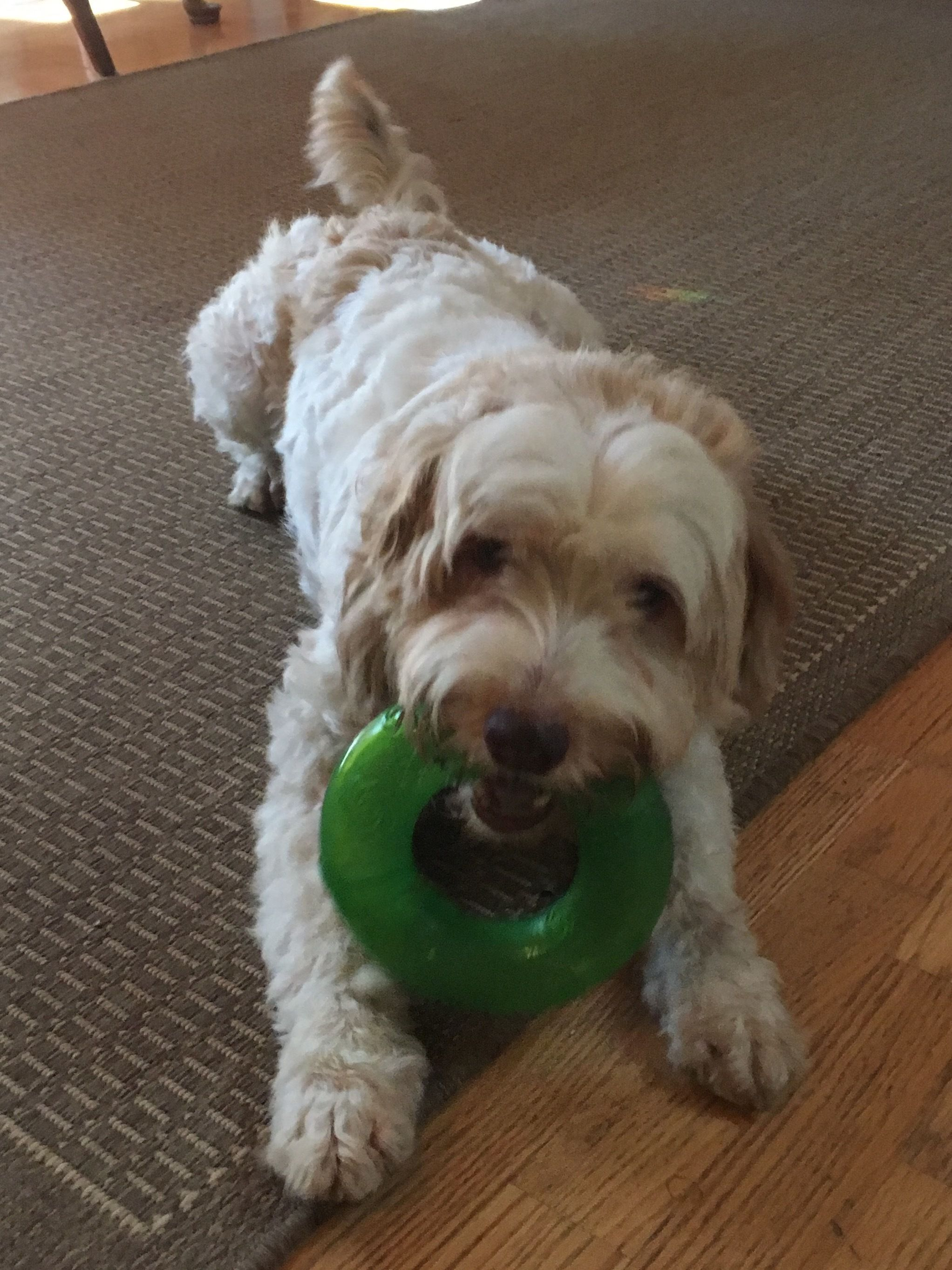 Adopt Miss Money Penny on | puppers | Money penny, Poodle