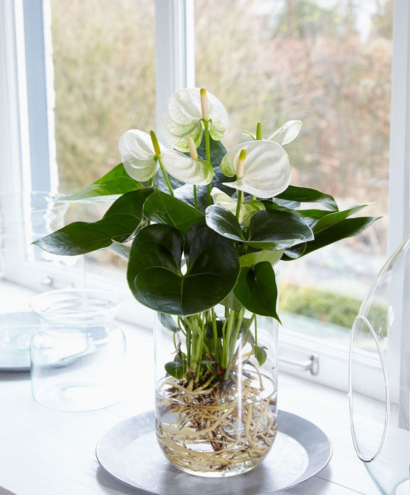 Kaufen Sie jetzt Zimmerpflanze Anthurie im Wasser Sie jetzt Zimmerpflanze Anthurie im Wasser  