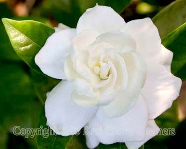 Google image result for httpdistantsunartworkflowers flowers for wedding based on meaning gardenia joy mightylinksfo