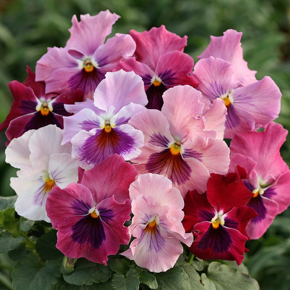 Heat Elite Pink Shades Pansy From Swallowtail Garden Seeds I Bought These Seeds Back In January And Started Them Indoors Pansies Flower Seeds Annual Flowers