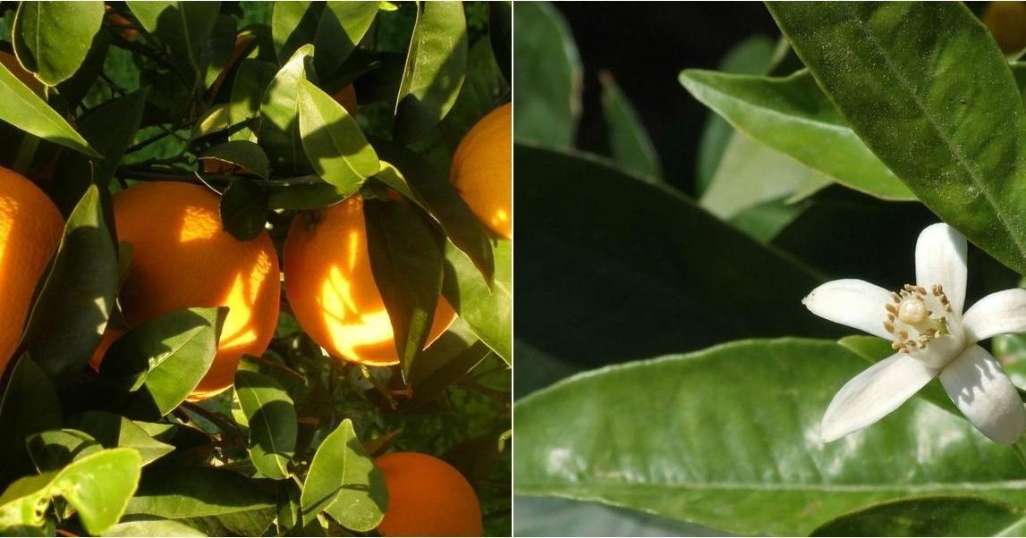 Cultivamos Naranjos En Macetas Descubre Cómo Pinchando Sobre La Imagen Cultivar Macetas Jardinería