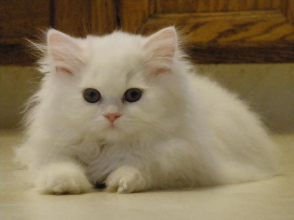 Traditional persian cat size