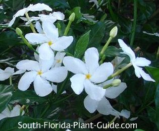 White Flowers Shaped Like Pinwheels Decorate Pinwheel Jasmine A Charming Shrub That Will Bloom Anywhere