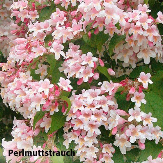Gärtner Pötschkes Blütenhecke, 5 Pflanzen online kaufen