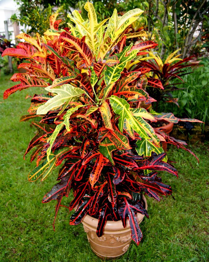 Codiaeum variegatum irene kingsley there exists a for Croton plant