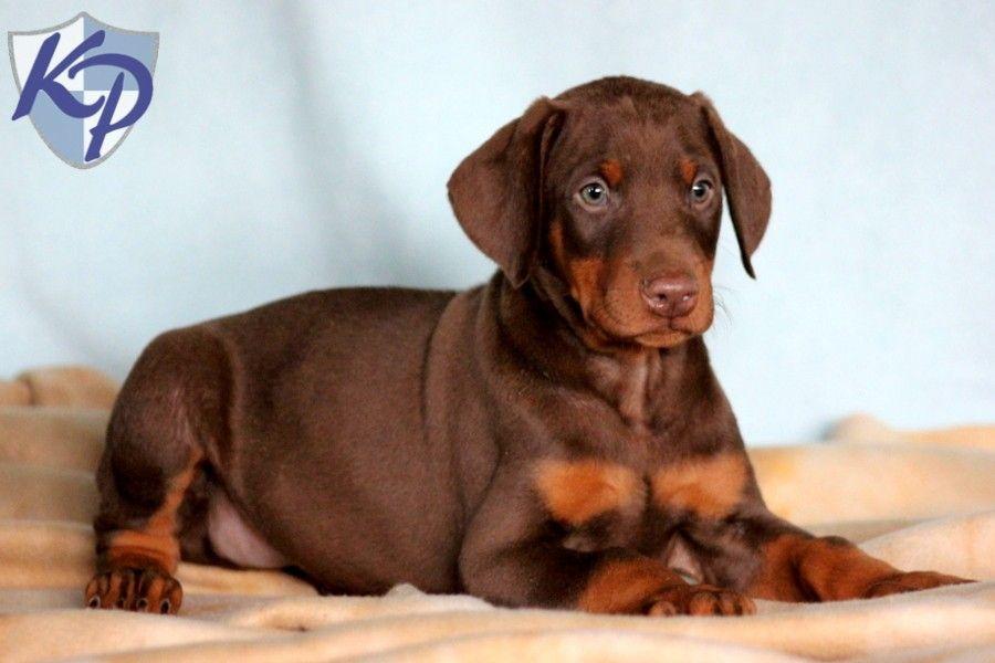 Red Doberman Pinscher Puppies For Sale Red Doberman Pinscher