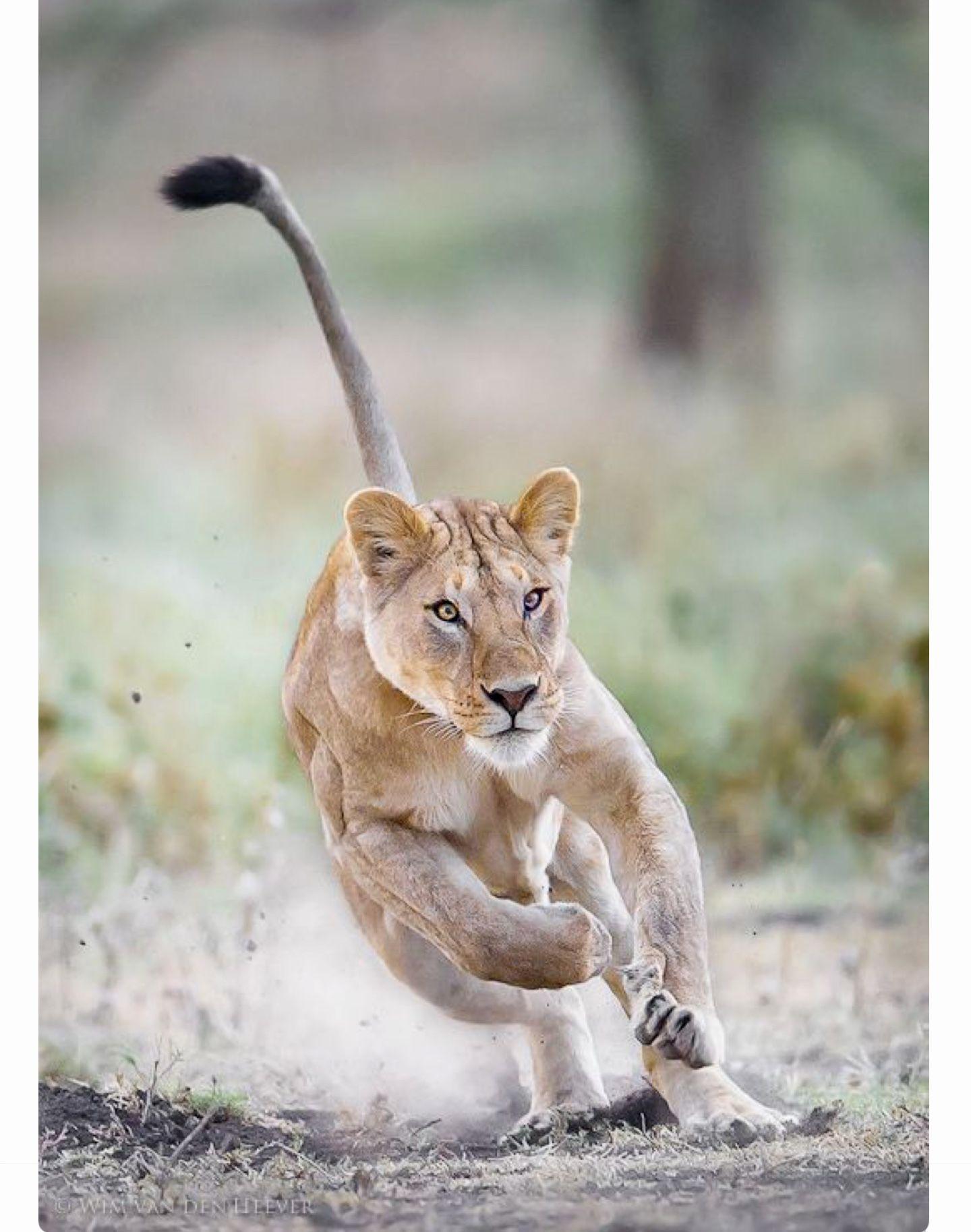 07fa7b2236 Beautiful charging lioness. (Wim van den Heever 500px)