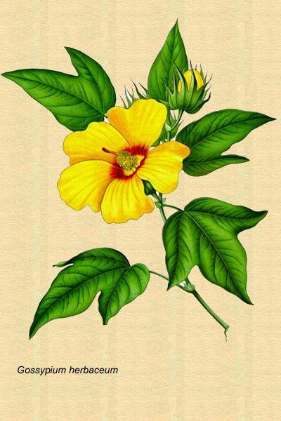 Dibujo De La Planta Del Algodon Plantas Ilustracion De Botanica Plantas Medicinales