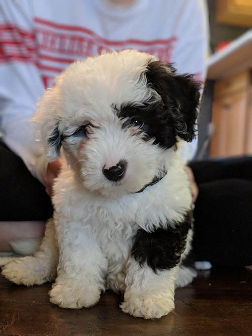Standard And Mini Sheepadoodle Puppies For Sale Poodles 2 Doodles In 2020 Sheepadoodle Puppy Sheepadoodle Puppies