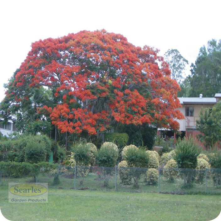 Power Lines In Backyard: RED: Poinciana Tree Requires A Large Yard So Grow Away