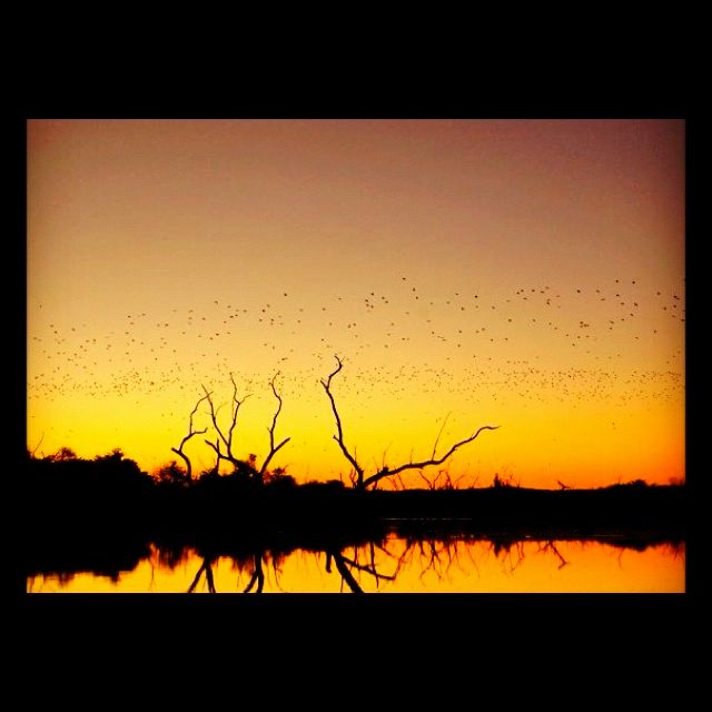 Northern Territory - Australia Bats at sunset