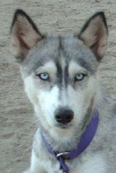 Adopt Lea On Siberian Husky Dog Husky A Husky