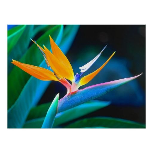 Beautiful Hawaii Bird Of Paradise Poster Birds Of Paradise Flower Paradise Flowers Birds Of Paradise