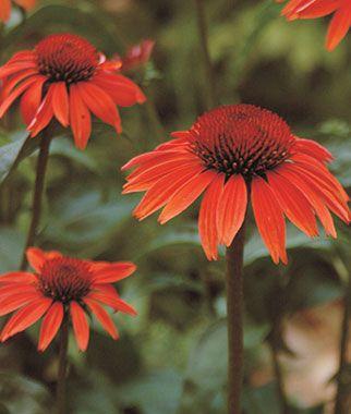 Sundown Ppaf Echinacea Seeds And Plants Perennial Flowers At Burpee Com Drought Tolerant Perennials Echinacea Bulb Flowers