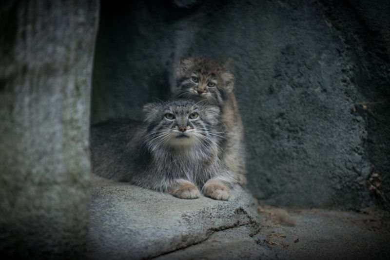 Columbus Zoo Works to Preserve Pallas's Cat Columbus zoo