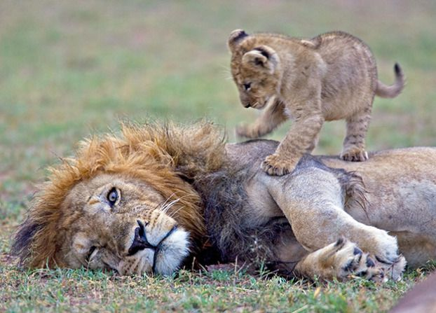 Lion dads are responsible for the protection and training of their cubs. Fatherhood often includes capturing prey that are too large for their offspring and protecting them from other lions.