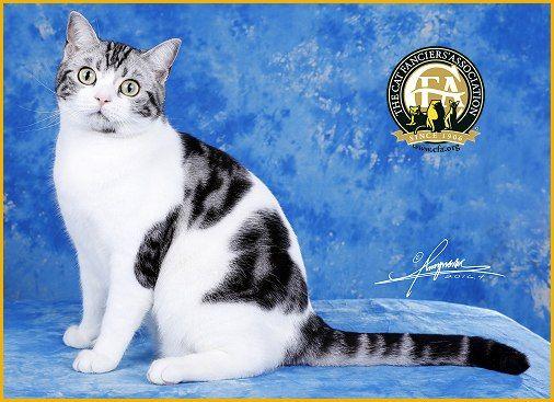 Gp Nw Heemu Heemu Son Of The Sun Silver Tabby White American Shorthair Neuter 5th Best Cat In Premiership American Shorthair Cat Cats American Shorthair