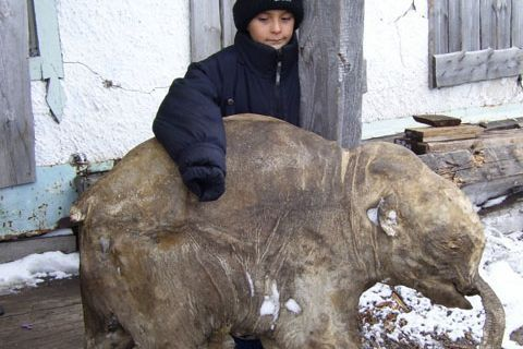 Находка века - школьник раскопал мамонта- On territory of the Russia is found beside 20 full skeletons mammoth, of them only two belongs to female