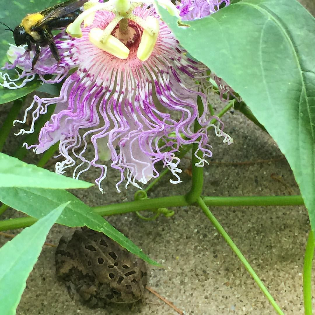 Just Spotted A Green Frog Keeping Cool Under A Purple Passion Flower