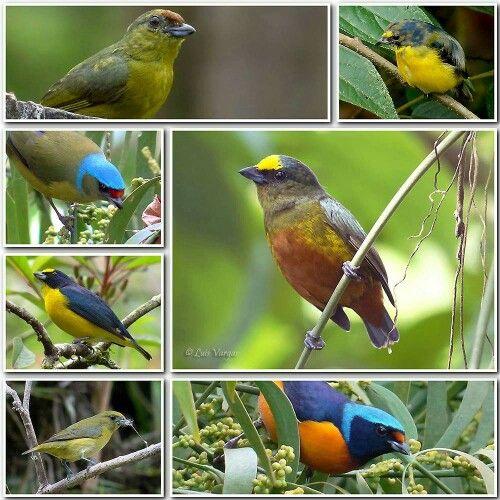 By Luis Vargas.  Algunas Eufonias en Costa Rica...