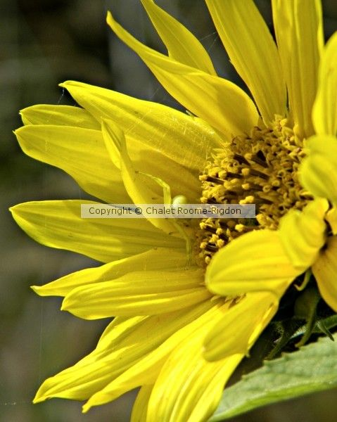 Spider and Sunflower by Chalet Roome-Rigdon on ARTwanted