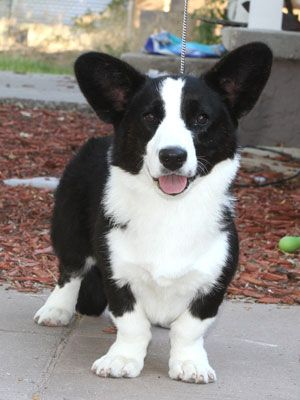 Beautiful Cardigan Welshcorgi Kennebec Black Magic Pembroke