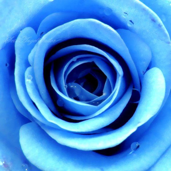 Ice Rose by SetsiAngelSailor.deviantart.com on @deviantART