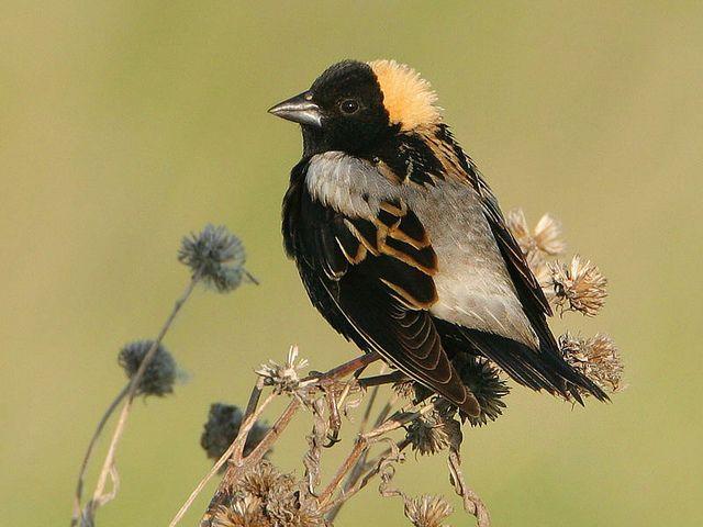Bobolink Dolichonyx Oryzivorus Nature Photography Black Bird Photo