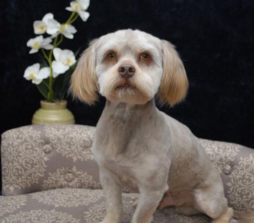 Adopt Dixon Barkley On Dog Adoption Lhasa Apso Dogs