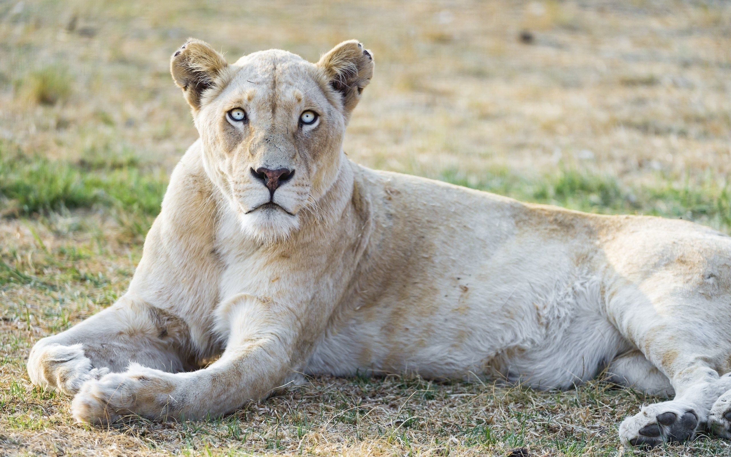1641243 Lion Category Quality Cool Lion Picture