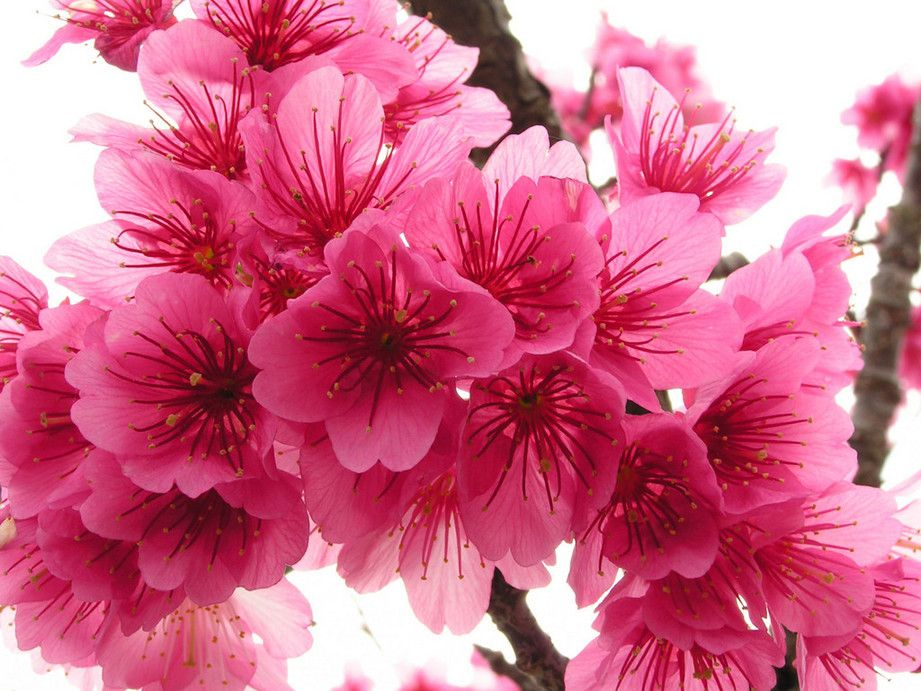 Cherry Blossom Flowers Cherry Blossom Flowers Blossom Trees Flowers