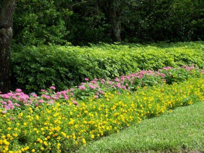 Beautiful Lantana Outdoor Landscaping Plants Plants Landscaping Plants Lantana