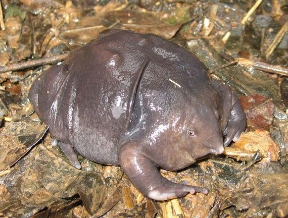 The Purple frog ( Nasikabatrachus sahyadrensis).  Officially discovered in 2003, it spends most of the year underground.