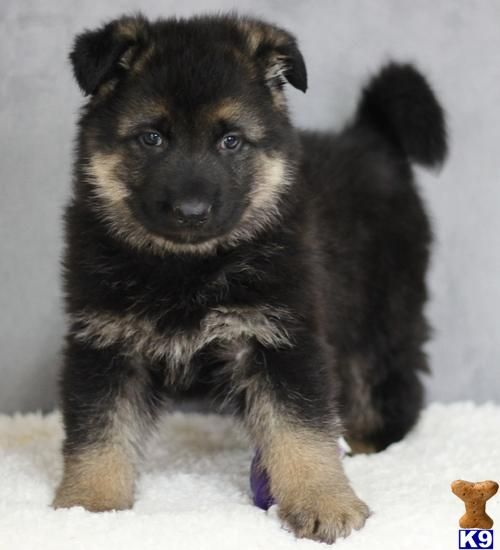 Highest German Shepherd Puppies A German Shepherd Pup For Sale