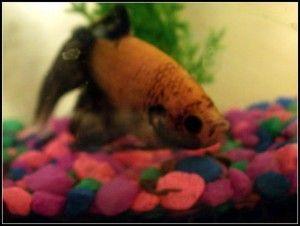 Why Beta Fish make good pets for Kids -  Why Beta fish make good pets for kids. Why Beta fish make good pets for kids. Why Beta fish make go - #Beta #fish #Good #Kids #Pets #Petsaccessories #Petsdiy #Petsdogs #Petsdogsaccessories #Petsdogsbreeds #Petsdogspuppies #Petsfish #Petsfunny #Petsideas #Petsquotes #Petsunique #smallPets #smallPetsforkids