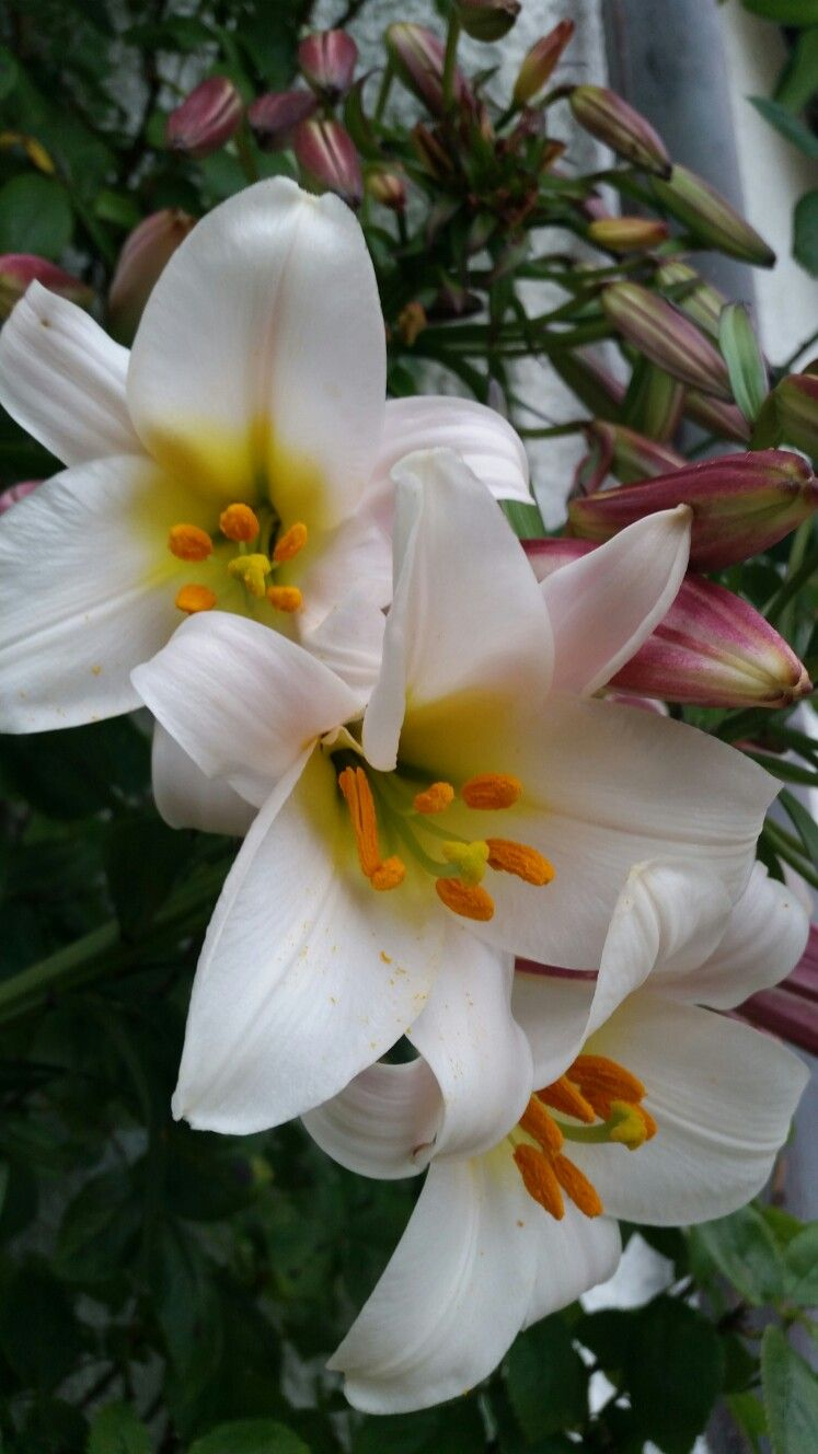 Madonna lily flowers pinterest madonna flowers and gardens madonna lily izmirmasajfo