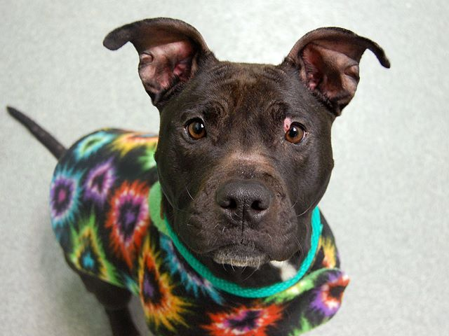 SAFE --- URGENT - Manhattan Center KYOKO - A0993596 FEMALE, BLACK / WHITE, PIT BULL MIX, 4 yrs OWNER SUR - EVALUATE, NO HOLD Reason INAD FACIL Intake condition NONE Intake Date 03/10/2014, From NY 10458, DueOut Date 03/10/2014 https://www.facebook.com/photo.php?fbid=771648102848071&set=a.617938651552351.1073741868.152876678058553&type=3&permPage=1