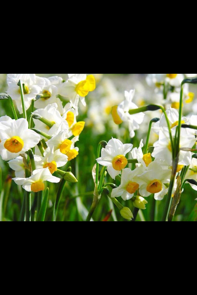 Pin By Tracey Jones On Pretty Things Narcissus Flower Types Of White Flowers Daffodils