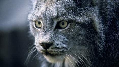 Geboorte van twee lynxen brengt weer hoop in Portugal - HLN.be