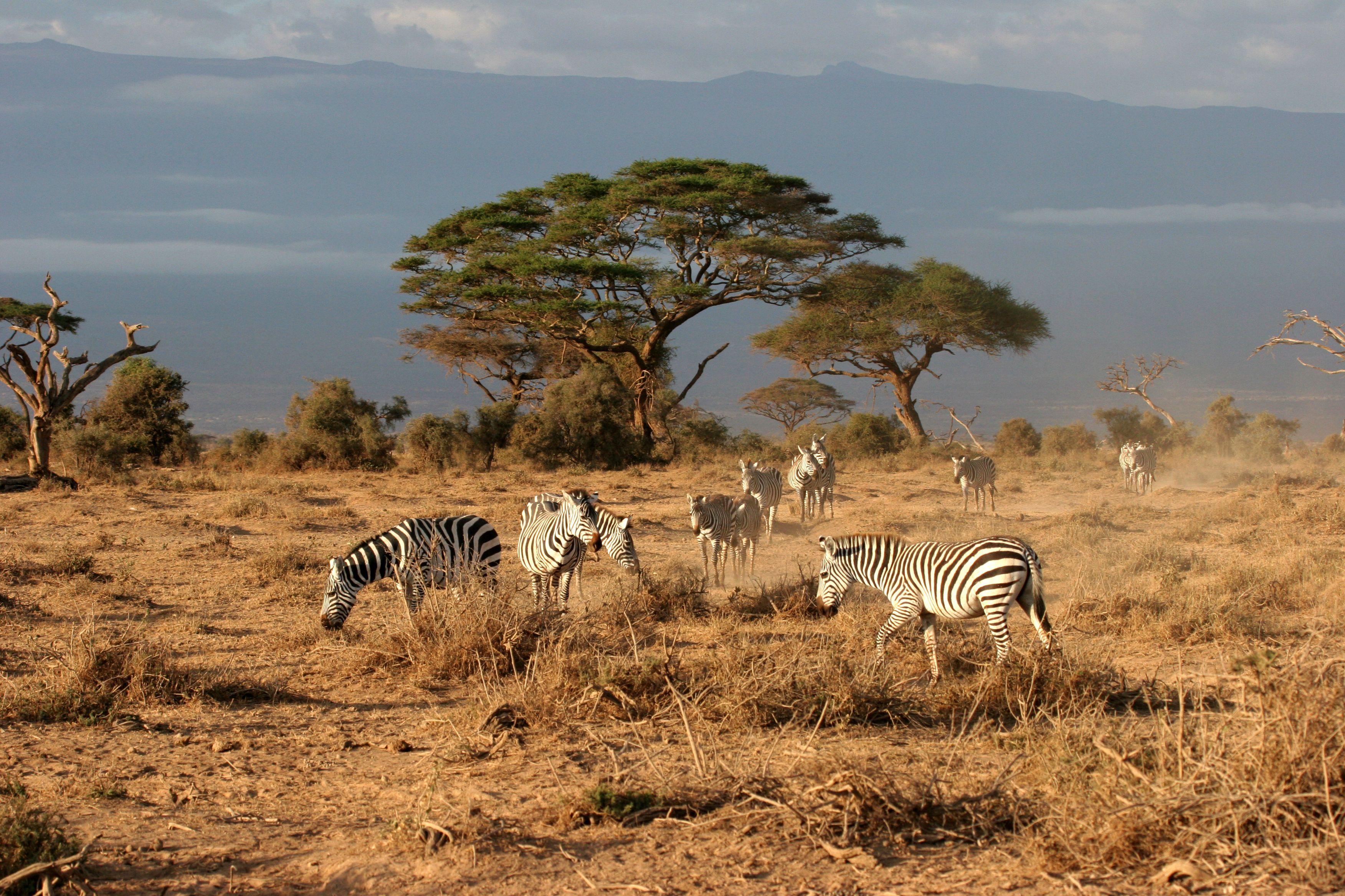 Savane sauter du coq l 39 ne pinterest savane - Dessin paysage africain ...