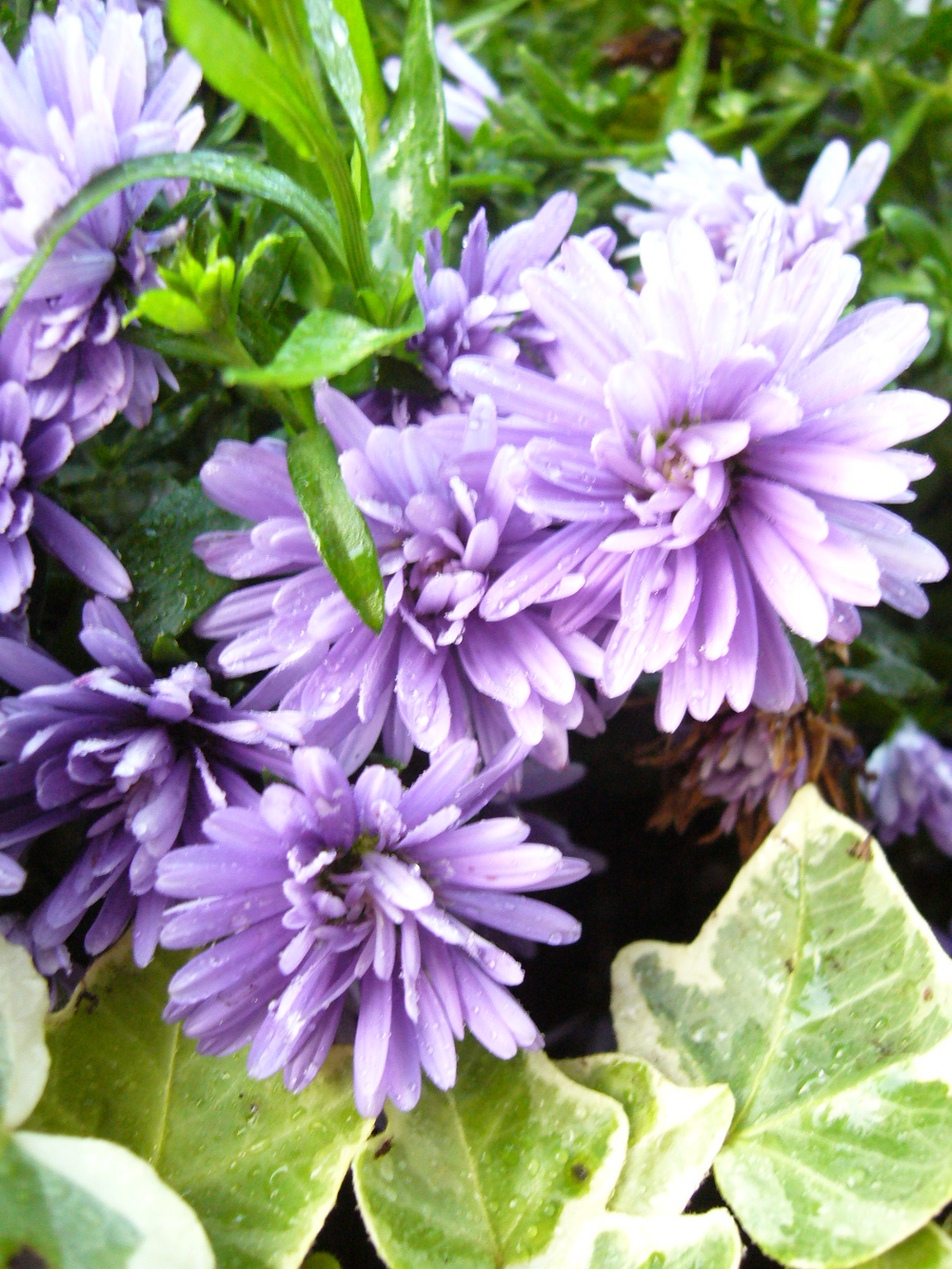 Fallblooming Asters and Ivy Bloom, Flowers, Plants