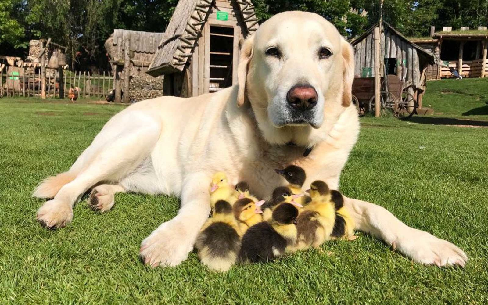 This Labrador Adopted These 9 Ducklings And Now They All Live Happily Ever After In A Castle
