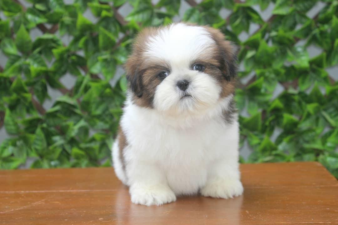 Kelva Shihtzupupslovers In 2020 Shih Tzu Puppy Puppies Shih Tzu